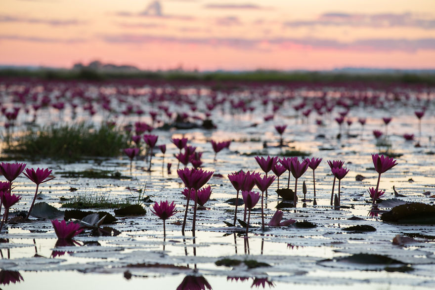 I-visited-the-red-lotus-sea-in-Thailand-57b315f95ec8c__880.jpg