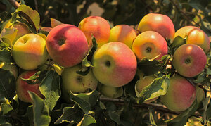 Яблоки на закате...