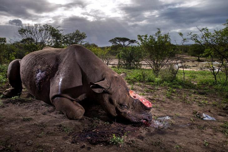 Черные носороги находятся под угрозой исчезновения. Согласно оценкам Международного союза охраны при