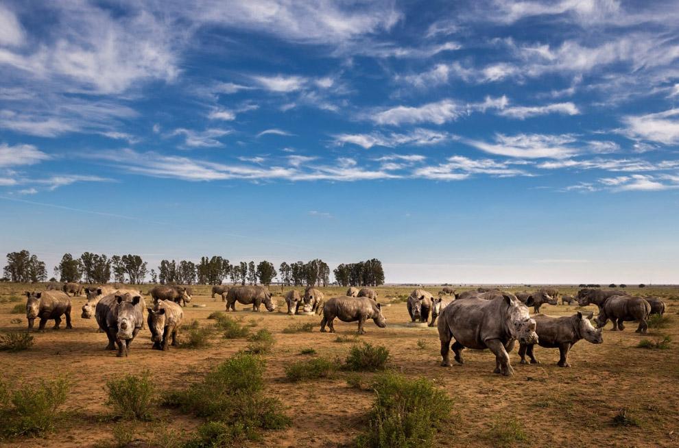 Это как раз момент перемещения носорога с опасного участка: