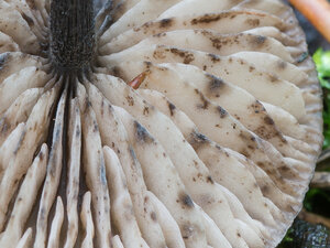 Энтолома Тьяллингии (Entoloma tjallingiorum)