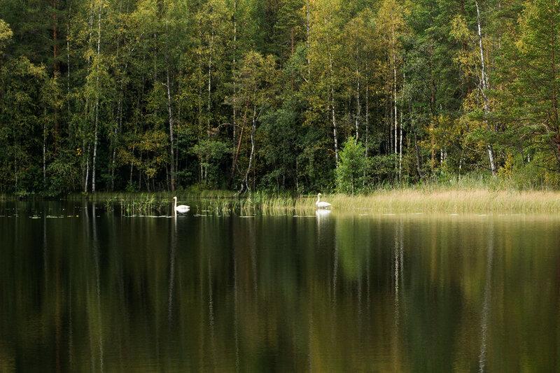 лебеди на озере в финляндии