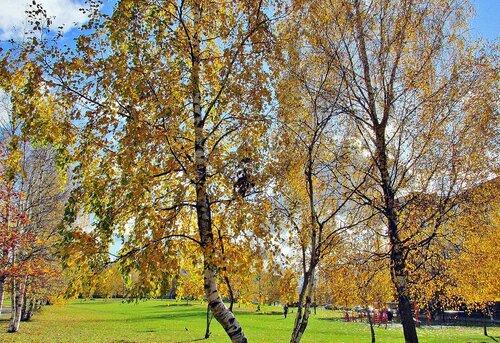 Берёзы в осеннем парке