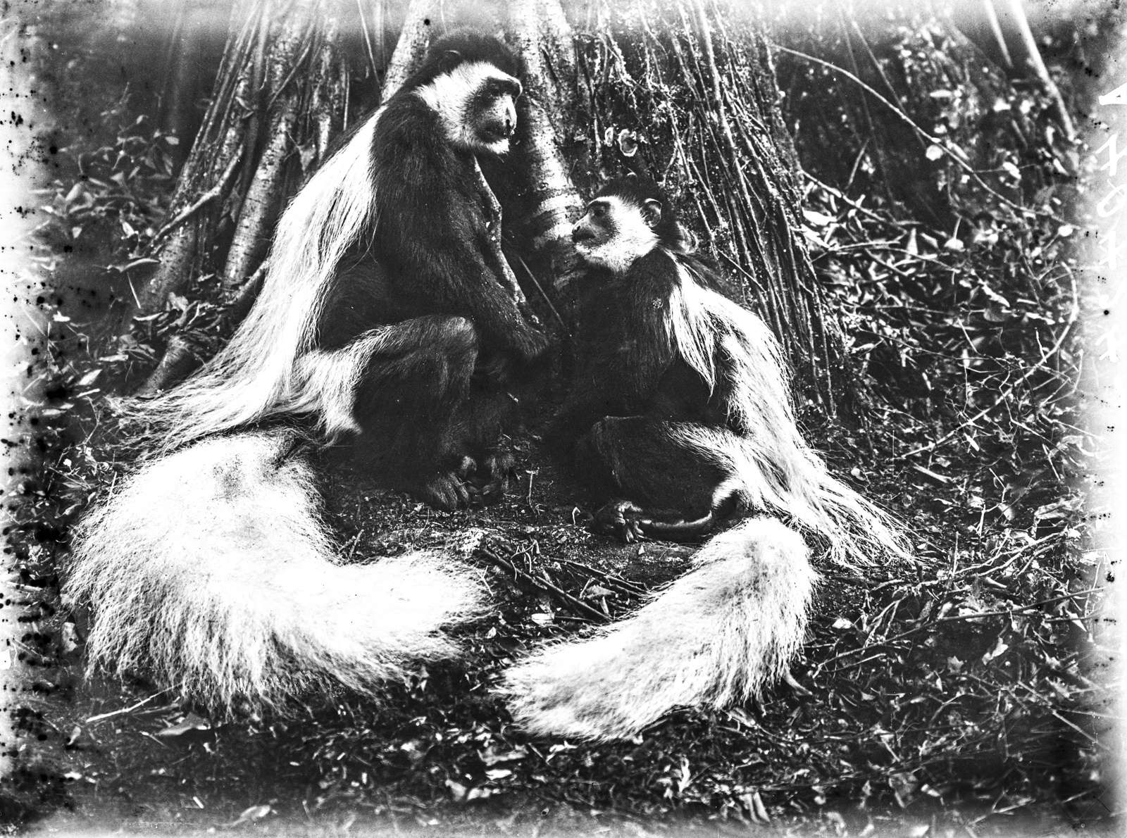 134. Две обезьяны