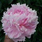 Флоренс Эллис начло цветения.jpg