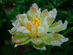 Грин Лотос  'Green lotus'