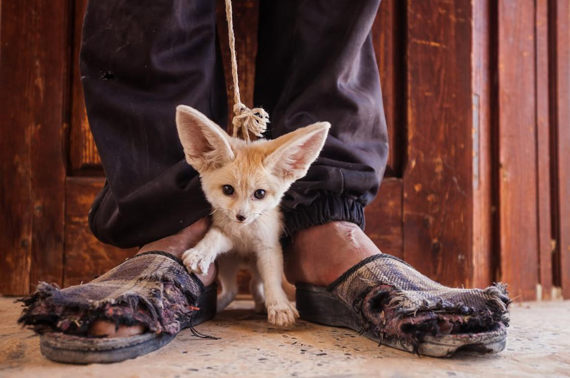 Fennec foxes are captured for the illegal pet trade. This three-month-old pup was for sale in a mark
