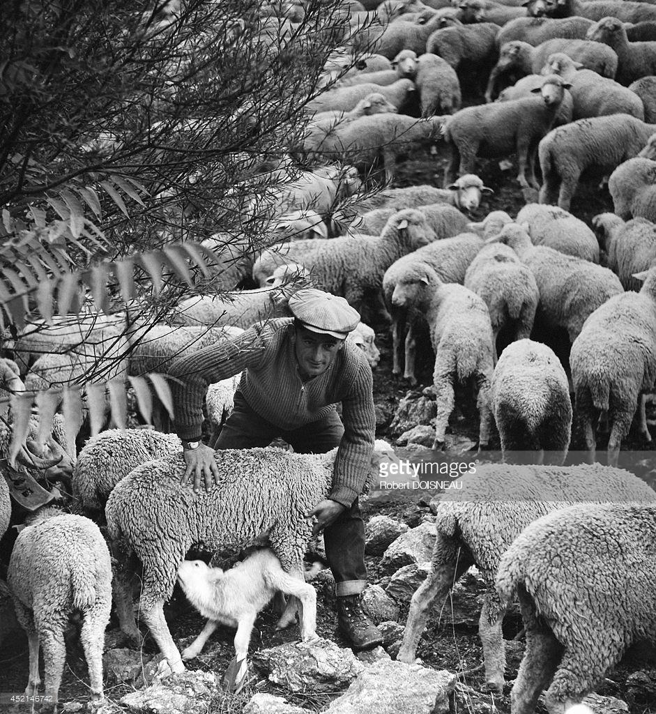1958. Пастух со своим стадом овец во время сезонного перегона на летние пастбища возле Вальберга 25 июня