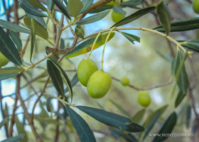 К оливковым деревьям в Черногории относятся с особыми почтением