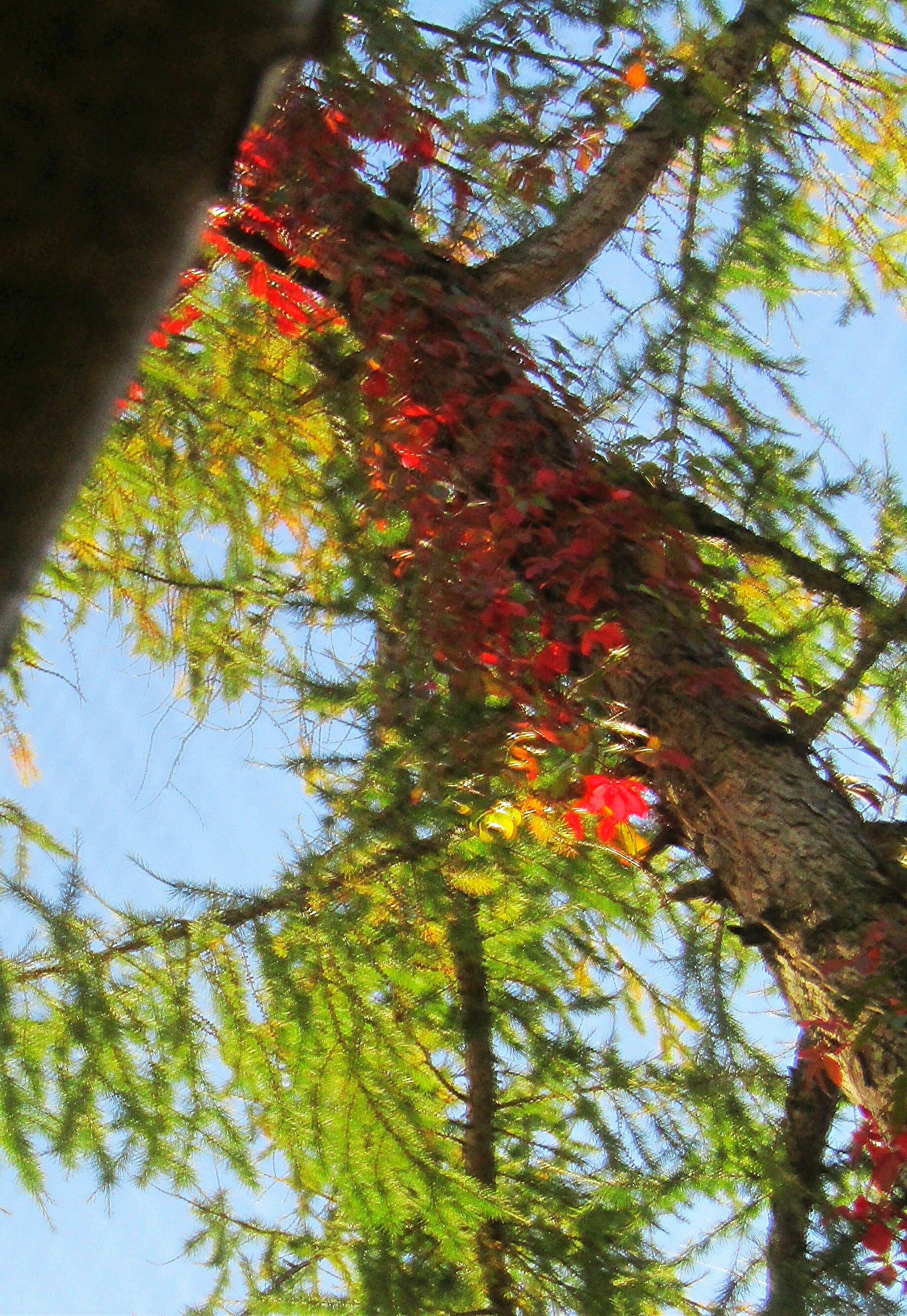очень высоко красные листики