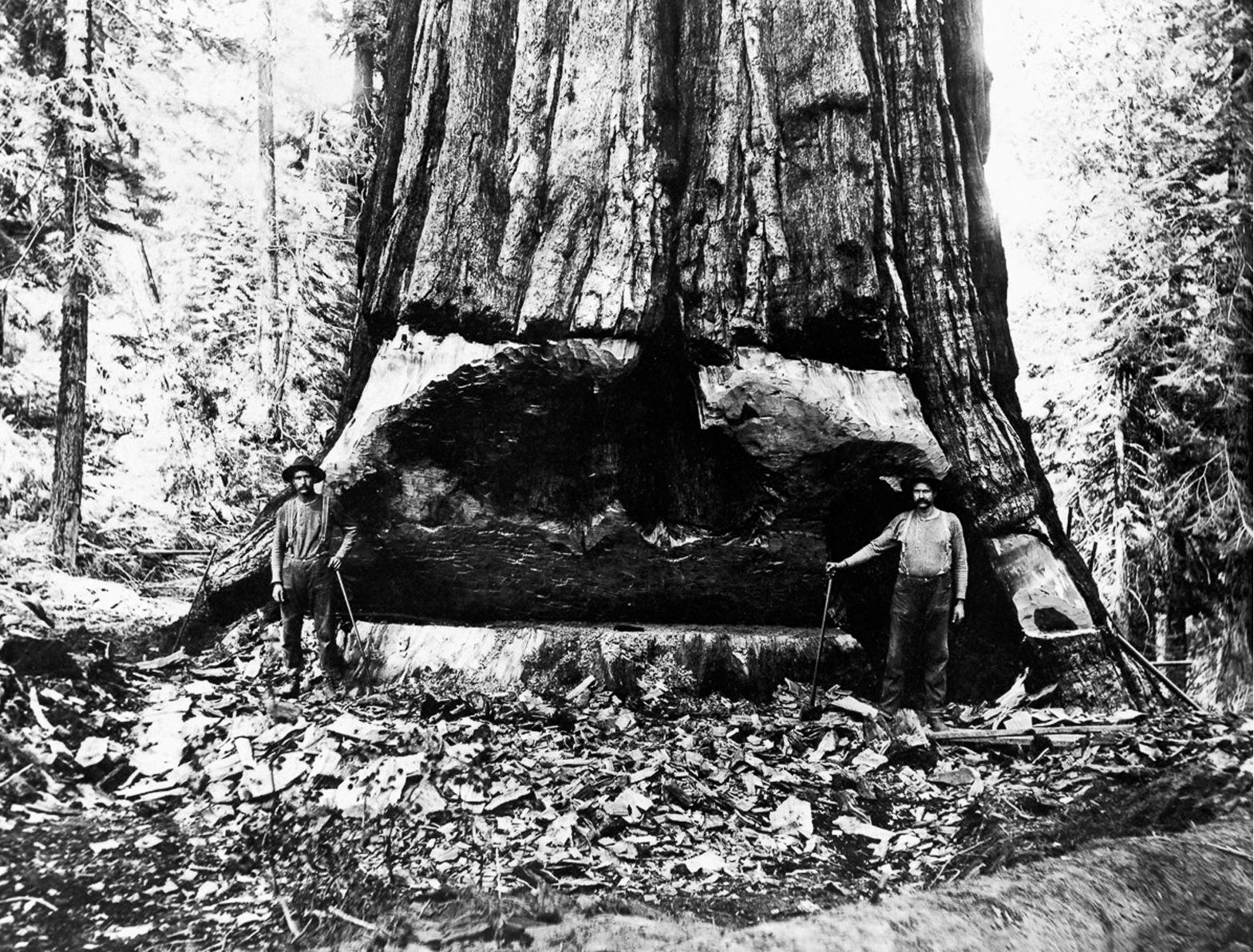 1902. Лесорубы подпилили гигантскую секвойю 25-футов в диаметре, чтобы ее повалить. Северная Калифорния