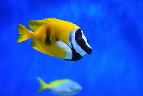 В Москвариуме -  рыбка Лисица Ло....