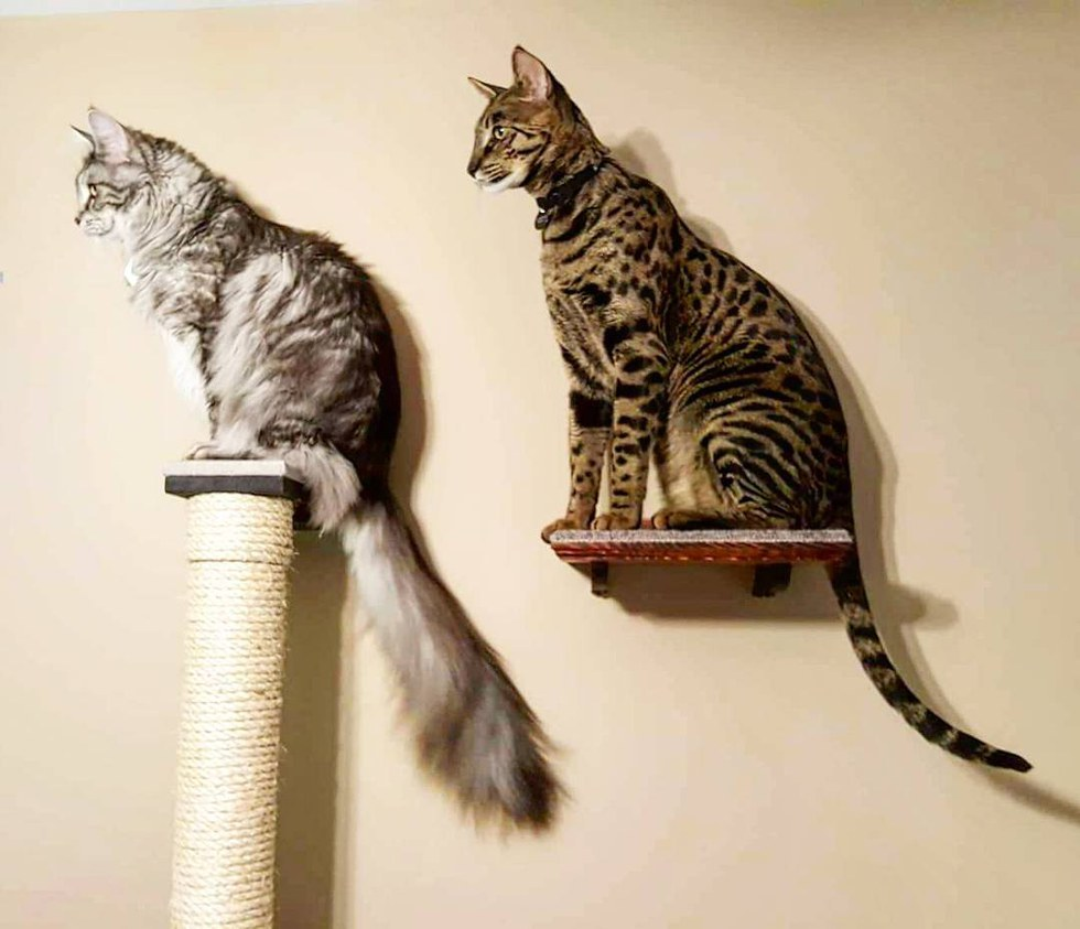 две кошки в доме как избежать драку фото