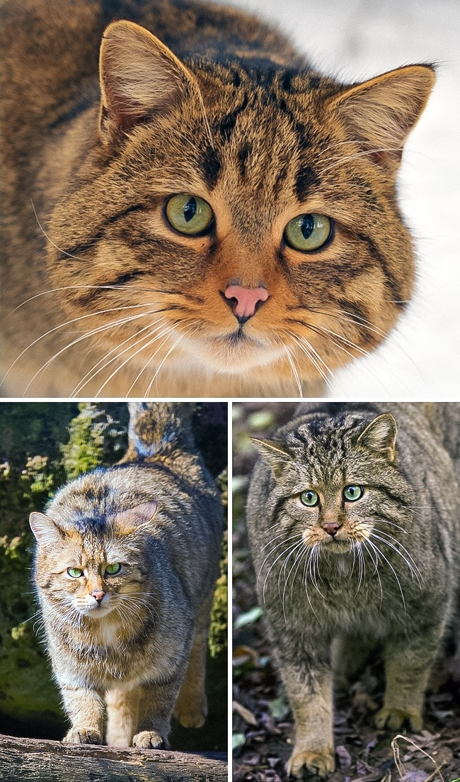 © eastnews  © wikipedia  © Cloudtail the Snow Leopard/flickr     Несмотря на