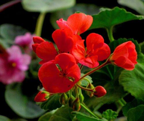 Цветы герани