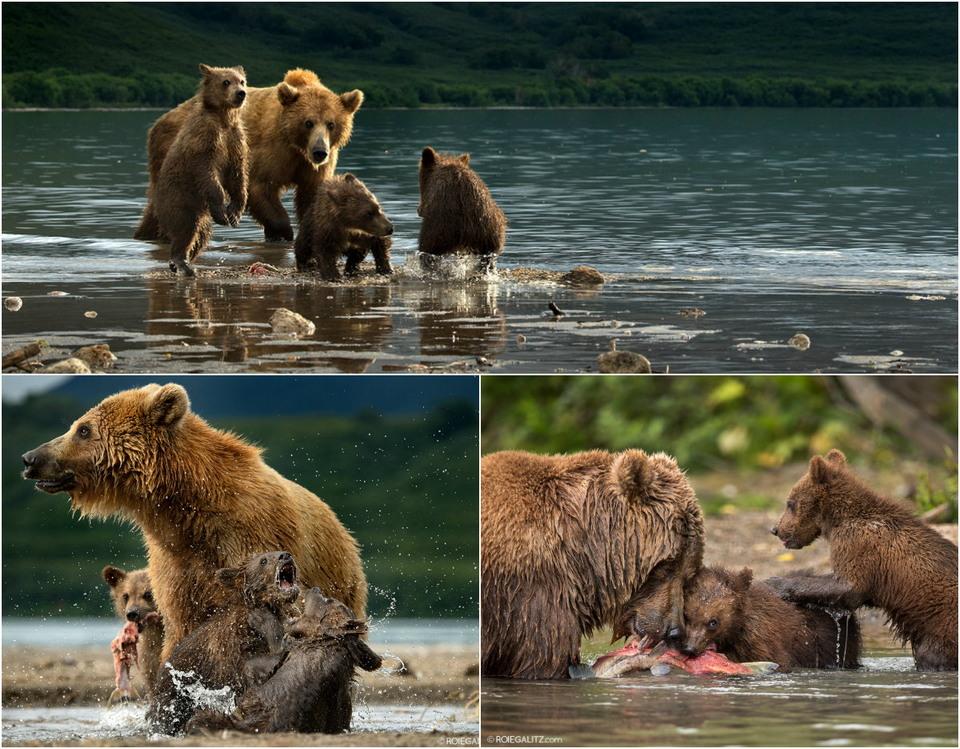 Медведица учит медвежат ловить рыбу