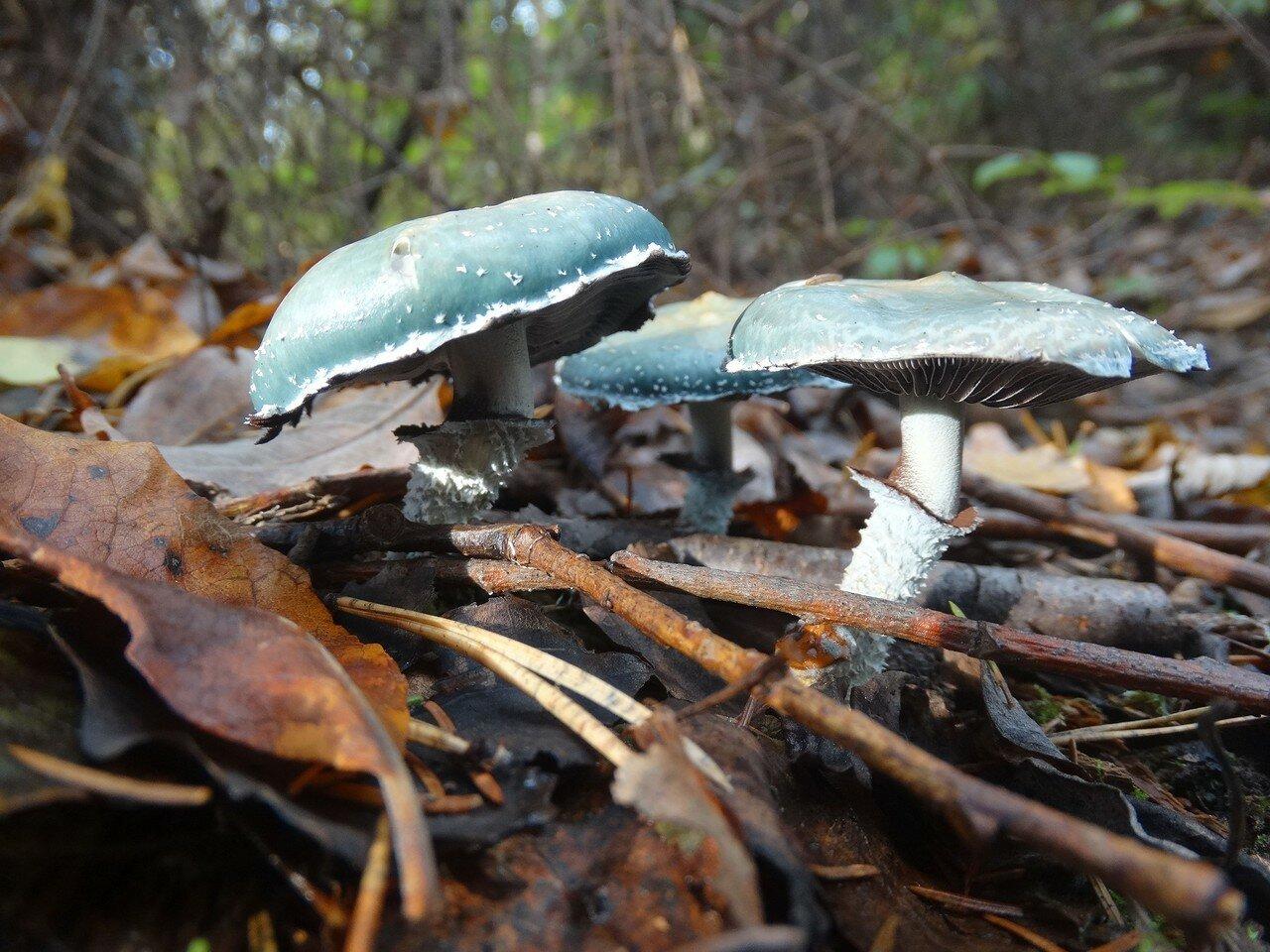 Строфария сине-зелёная (Stropharia aeruginosa). Автор фото: Привалова Марина
