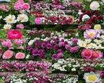 Peonies Ботанический сад в Киеве