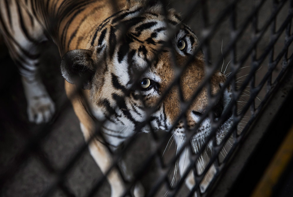 15. По оценкам Агентства по экологическим расследованиям, ежедневно погибает один тигр, чтобы б