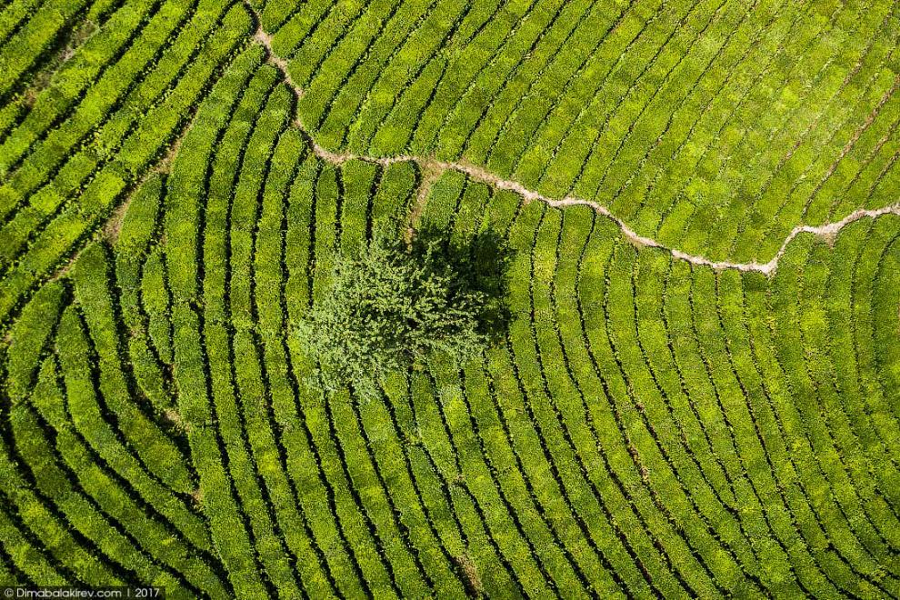 6. До 1994 года более 700 гектаров чайных плантаций были обеспечены автоматической системой и