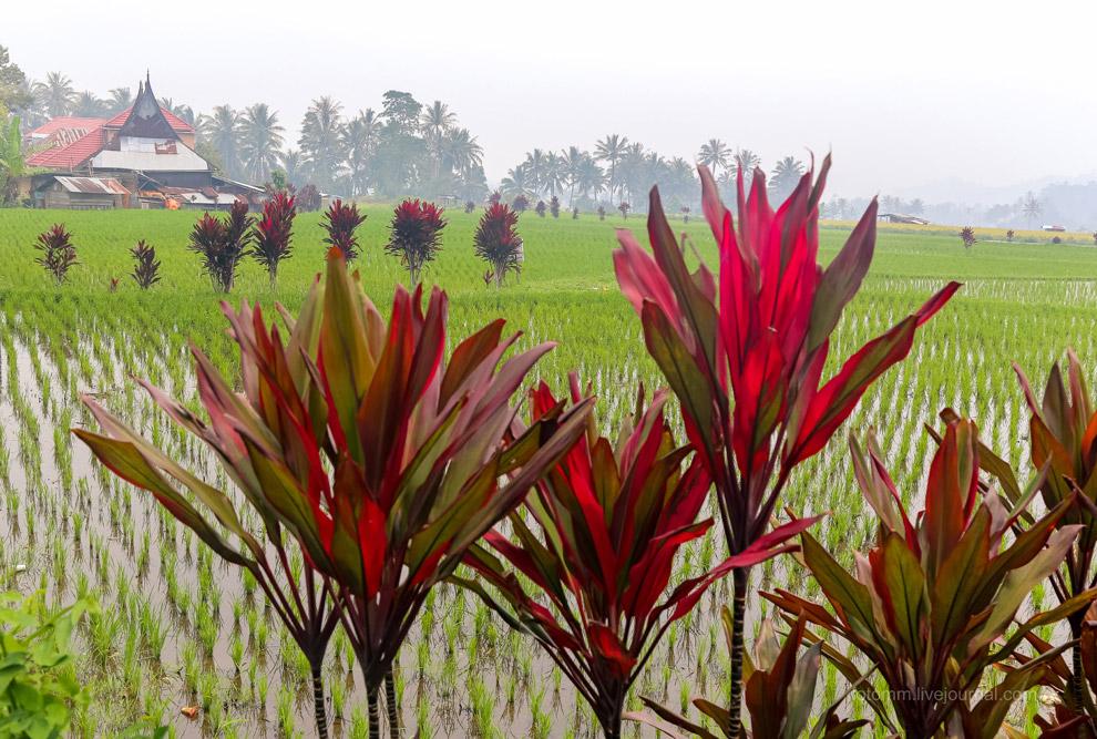 20. Выращивание риса— труд действительно очень нелегкий. Не представляю, что тут
