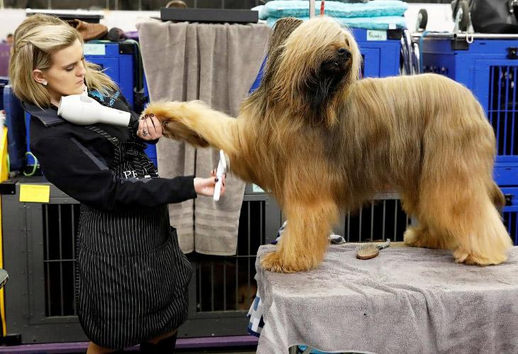 Выставка собак Westminster Kennel Club 2018 (16 фото)