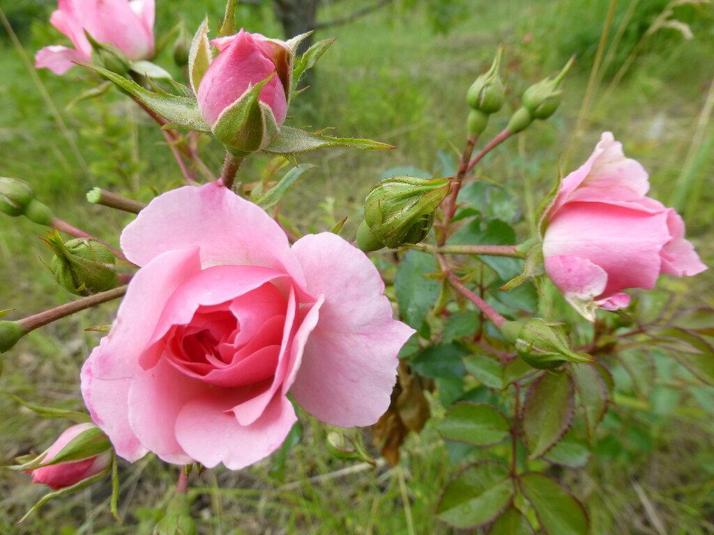 Розы с яйцами и прочие дачные радости L1280001.JPG