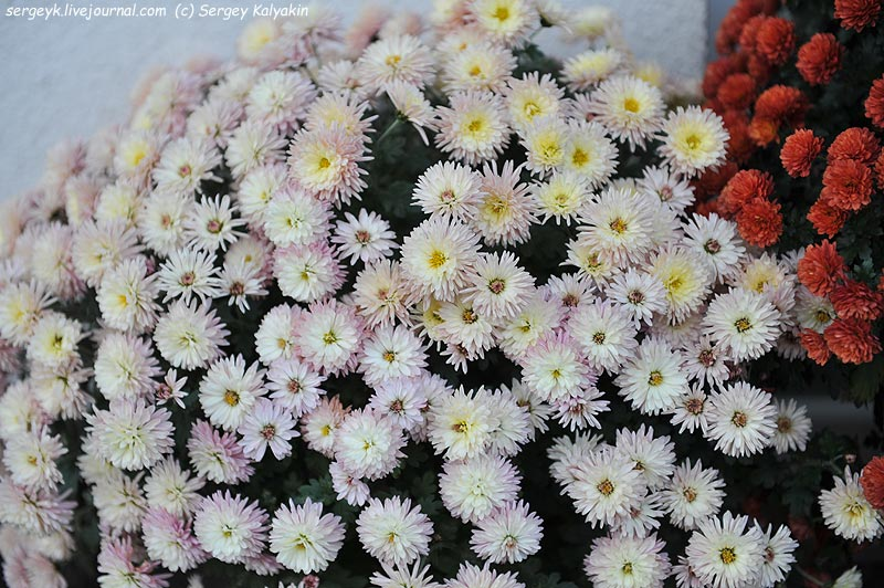Chrysanthemum (2).JPG