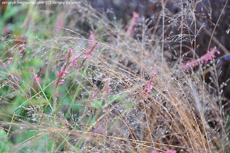 Sporobolus heterolepis Persicaria amplexicaulis Summerdance.JPG