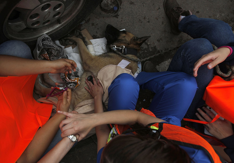 10. Собаки иногда гибнут на такой работе. Так, в во время землетрясение в Эквадоре, 4-летний золотис