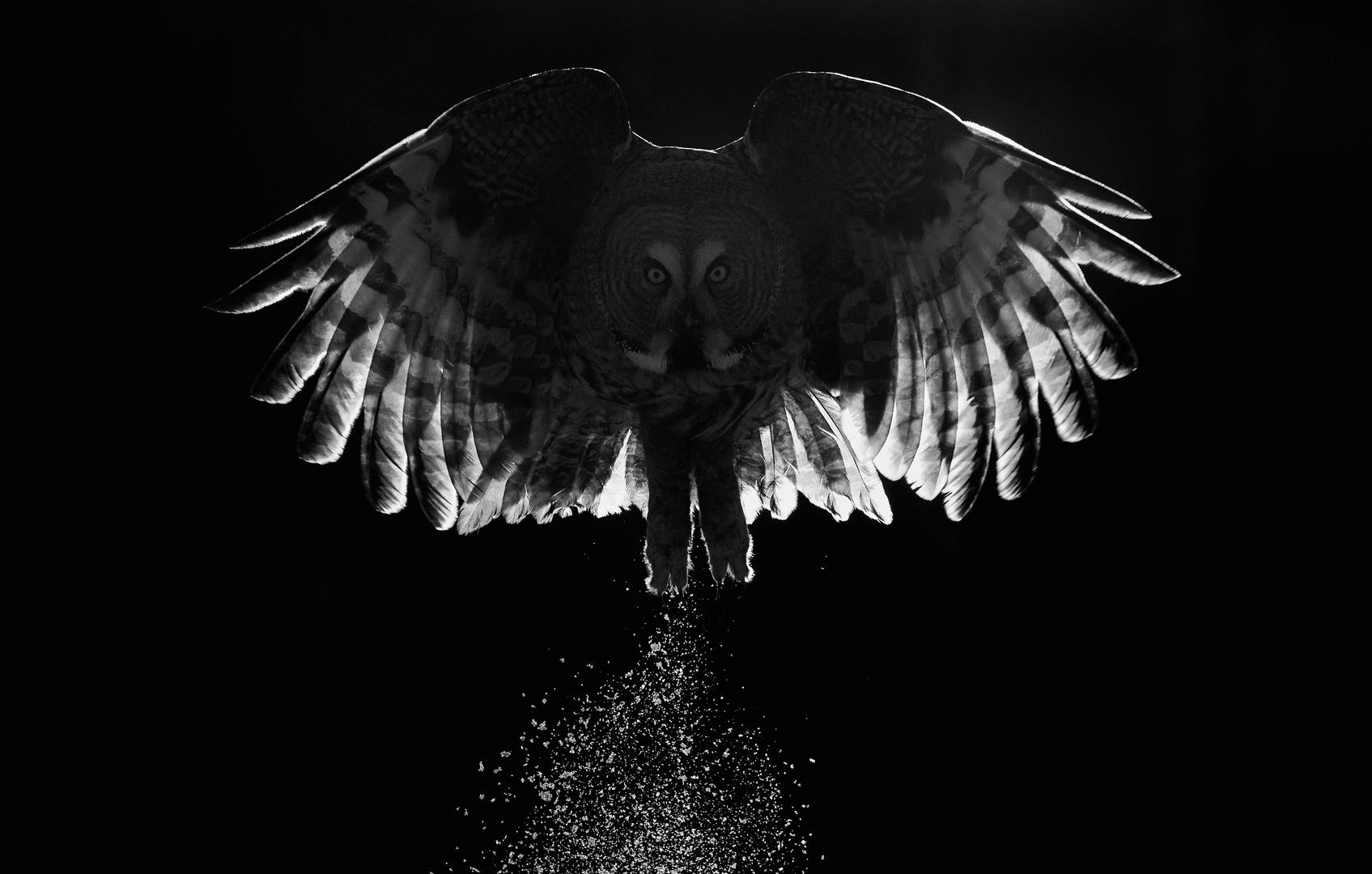 Best Portfolio. Great Grey Owl by Markus Varesvuo.