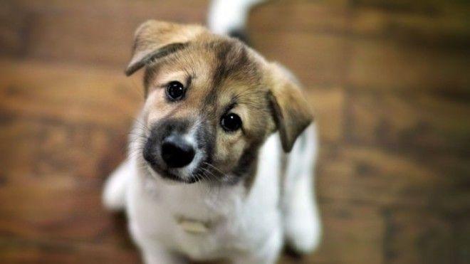 Для собак создали две ситуации. На эксперименте находился хозяин собаки и два сотрудника.     Х