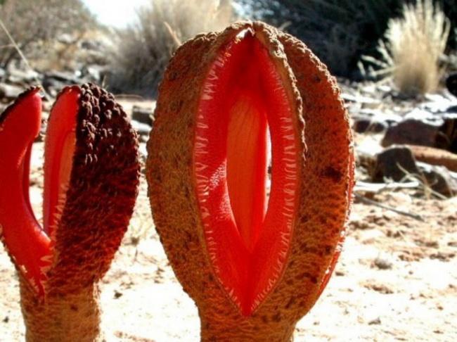 © wikipedia     Большая часть этого растения обычно находится под землей. Гиднора паразит
