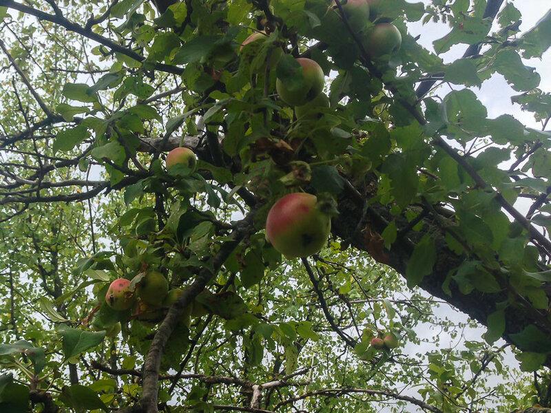 Лесные яблоки