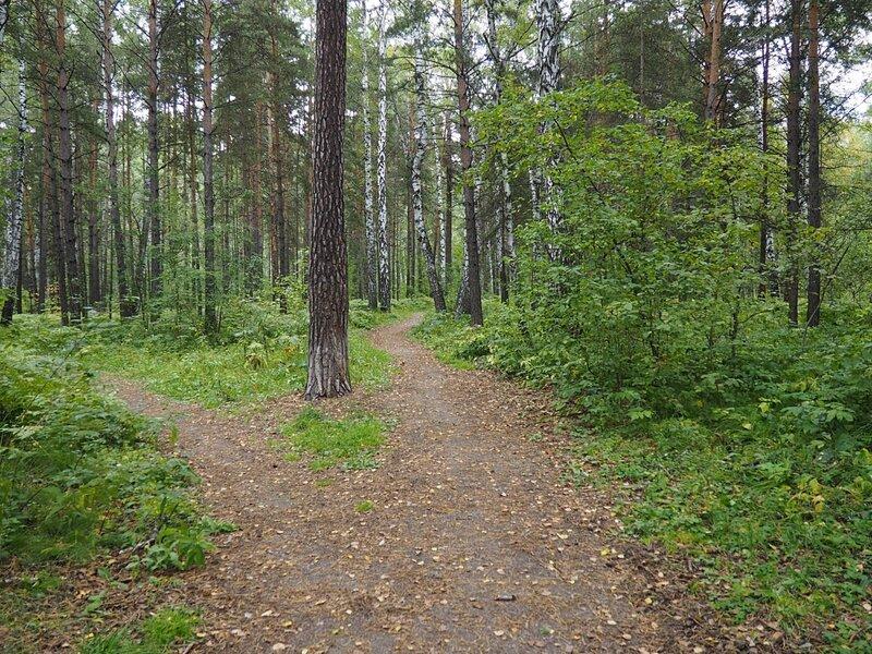 Новосибирск, Академгородок – сосновый бор (Novosibirsk, Akademgorodok - a pine forest)
