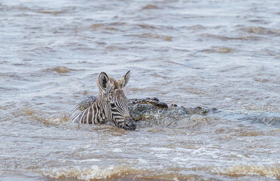 Крокодилы сожрали жеребенка зебры