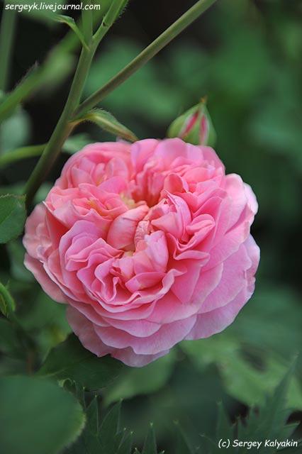 Rosa Boscobel.JPG