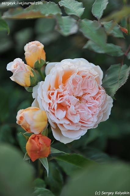 Rosa Lady Emma Hamilton  (2).JPG