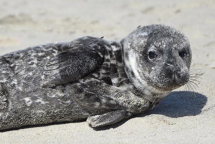 2. Голодающие морские львы — в основном малыши — «сели на мель» на калифорнийских пляжах в рекордных