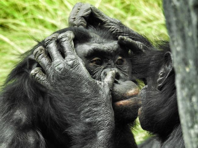 © pixabay     Шимпанзе— одни изнемногих животных, которые узнают себя вотражении зерка