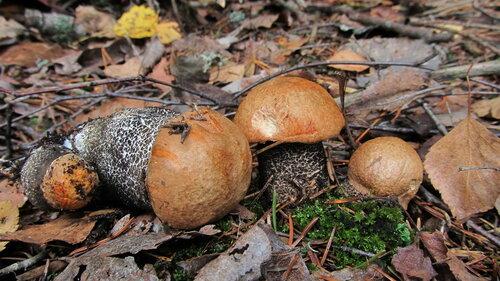 Осиновик жёлто-бурый (Leccinum versipelle) Автор: Лариса Петрович