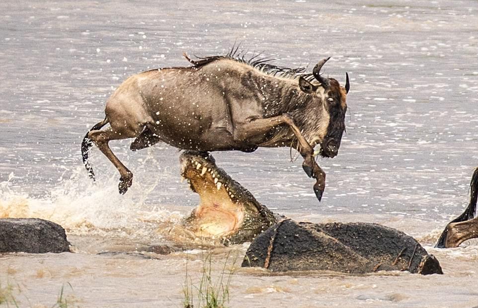 Спасительный прыжок: антилопа гну чудом спаслась от пасти крокодила