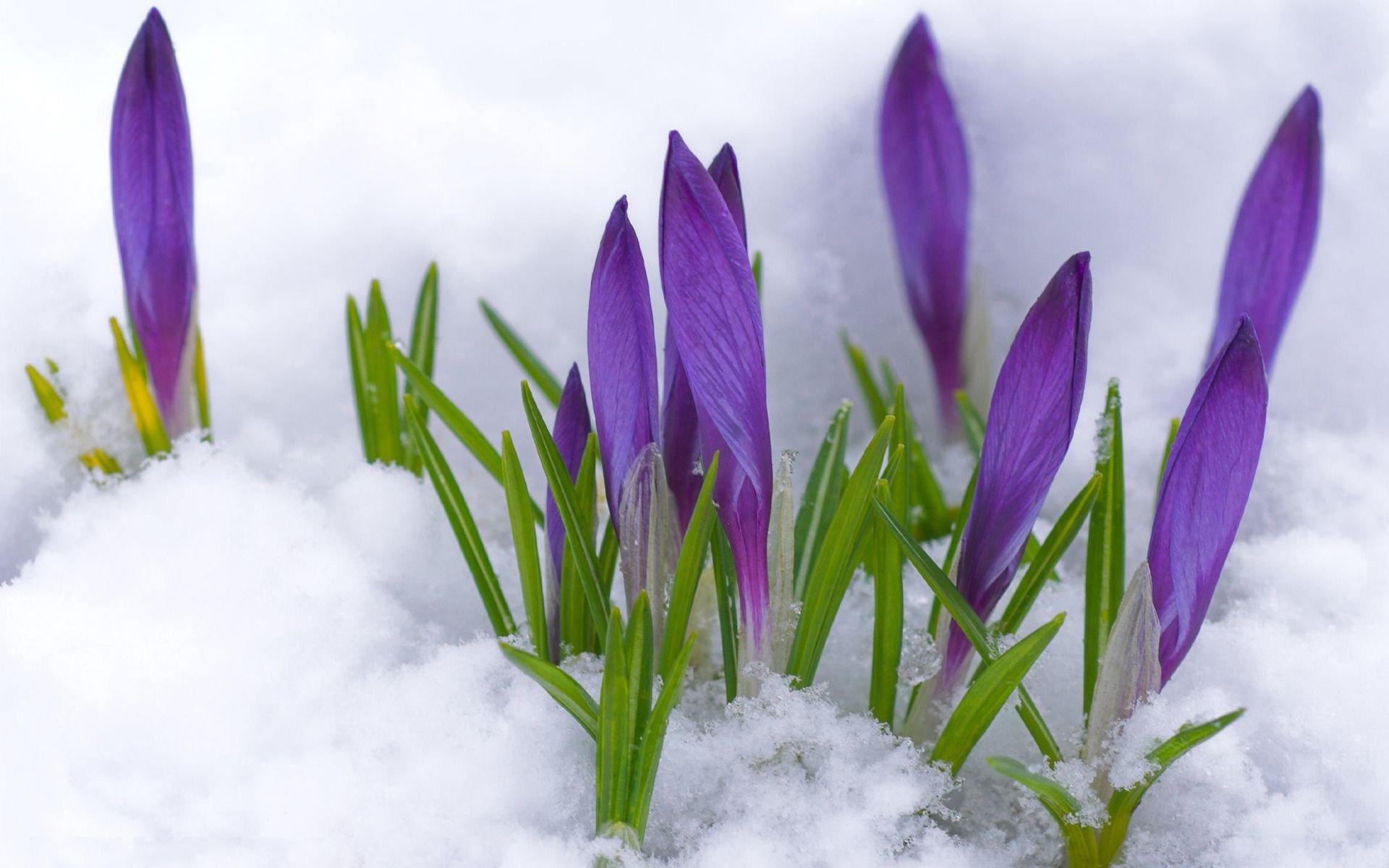 Первые цветы в снегу открытки фото рисунки картинки поздравления