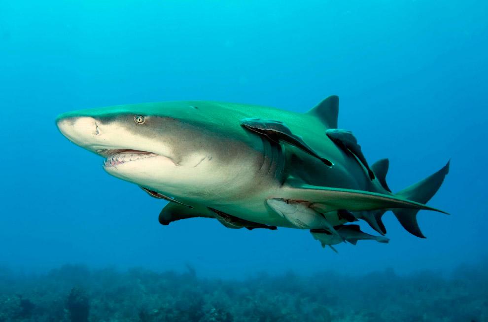 Хорошая новость — люди ей неинтересны! Впрочем, как и любой другой акуле. Также смотрите статью « Ст