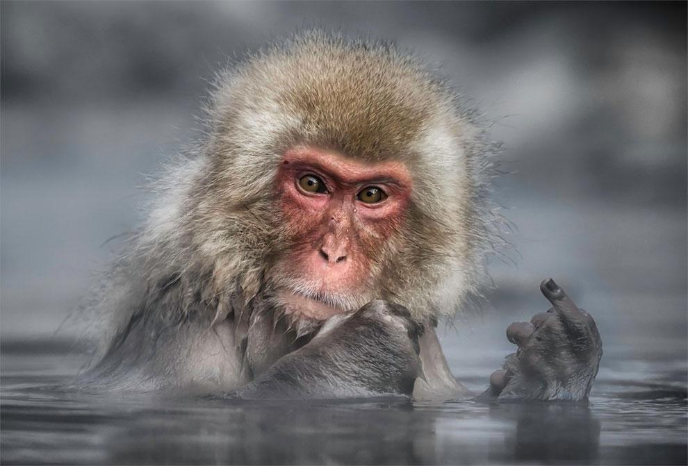 Японский макак, парк обезьян Джигокудани. Фото: Linda Oliver