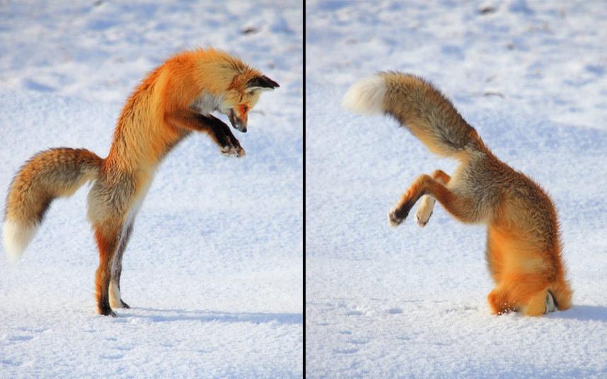 3. За секунду до. Сова ловит мышь, Канада. (Фото JOHN TAJIMA):