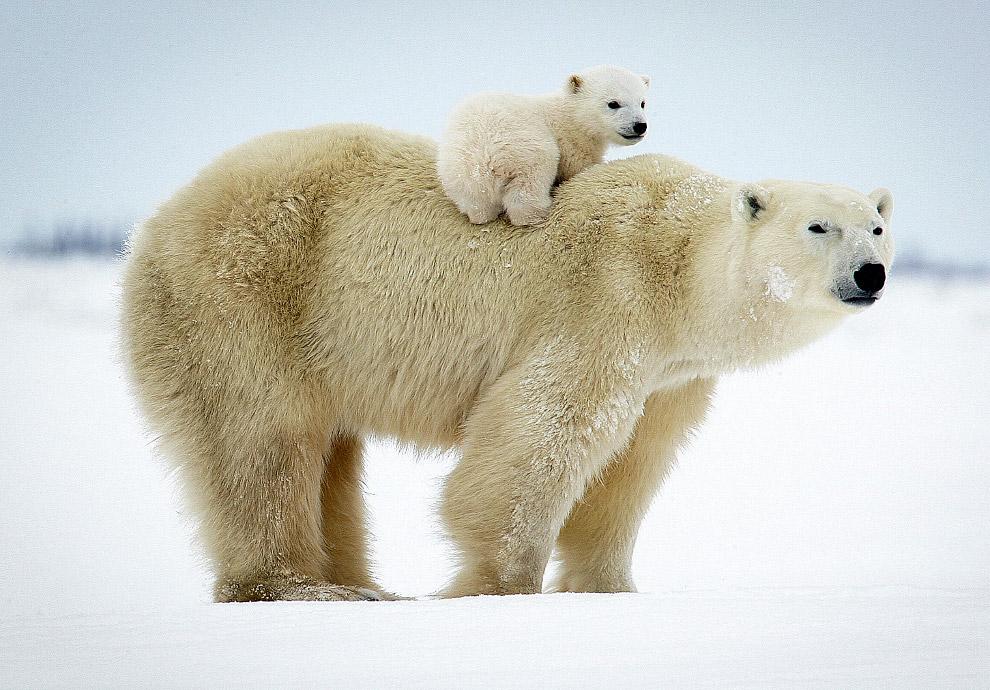 18. На территории России насчитывается 5—7 тысяч белых медведей. Занесён в Красную Книгу России.