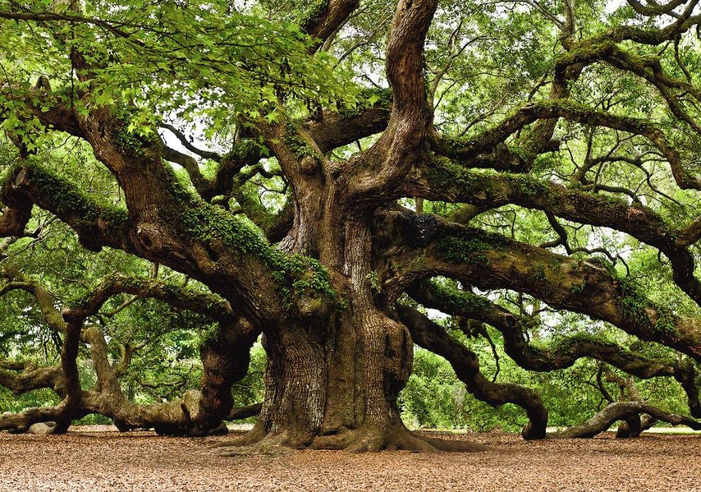 6. Кроме дуба в различных странах для производства бочек используются другие породы дерева — в Росси