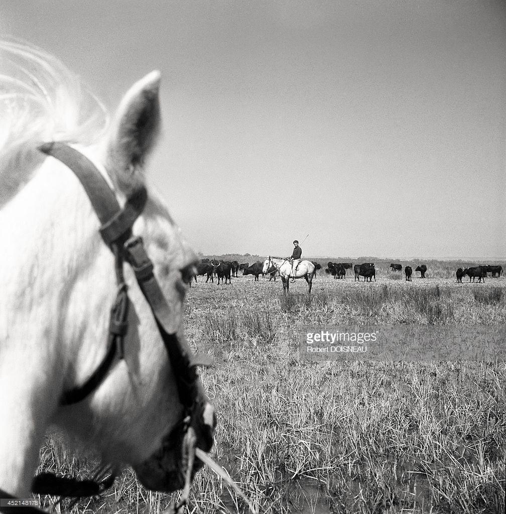 1947. Камарг (региональный природный парк). Типичная лошадь