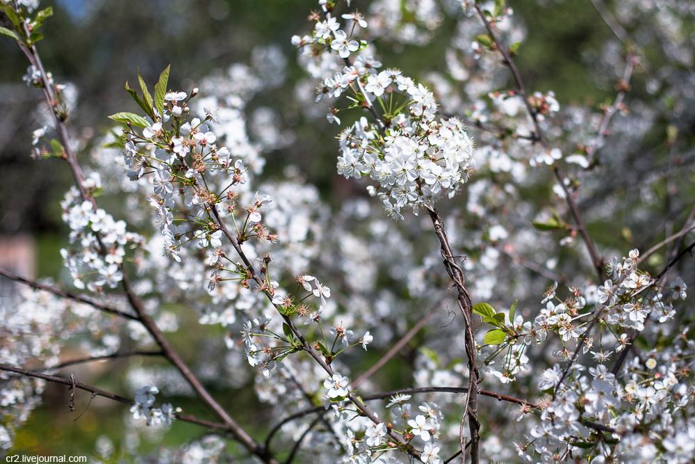 Облетает белый цвет облетает с вишни песня
